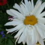 Close-up of the white daisy.