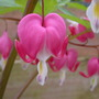 "dicentra ""bleeding heart"""
