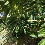 Carica papaya 'Maradol' - Maradol Papayas (Carica papaya 'maradol' - Maradol Papayas)