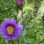 Aster and Eucomis...08