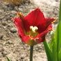 red with yellw fringe tulip