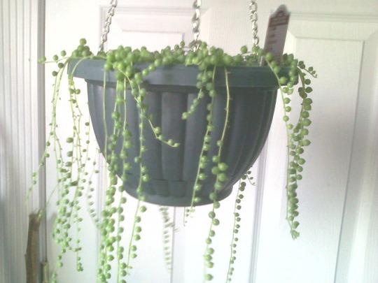 String of Pearls (Senecio rowleyanus)