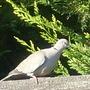 Collared Dove....