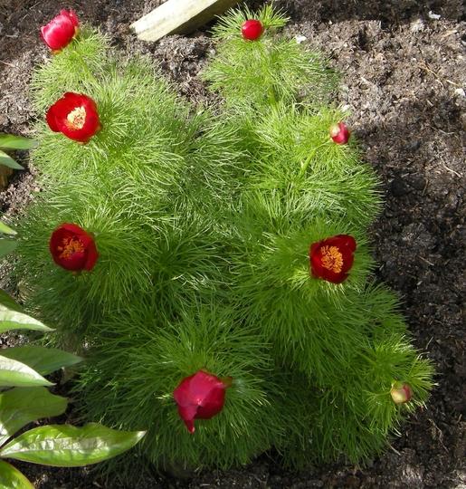 flowers opening (Paeonia tenuifolia)
