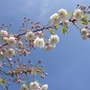 April blossom..... dancing in the sunshine...