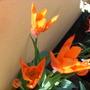 "Tulip ""orange breeze"""