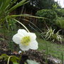 White Hellebore (helleborus)