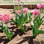 Spring_garden_2009_pink_tulips