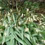 These tulips refuse to grow in my garden (Tulipa turkestanica (Tulip))