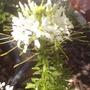 Cleome (Cleome hassleriana)