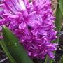 "Hyacinth ""Fondant""/""Fondante"""