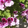 Pelargonium_flowers__close_up__001.jpg (Regal Pelargonium)
