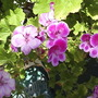 Pelargonium_flowers__close_up__002.jpg (Regal Pelargonium)