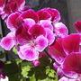 Pelargonium_flowers__close_up__003.jpg (Regal Pelargonium)