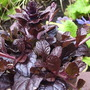 Ajuga reptans &quot;Mahogany&quot;.