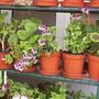 Pelargonium_08-06-2008_001.jpg