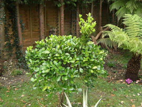 big bird topiary