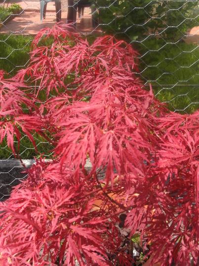 Acer palmatum dissectum 'Garnet' (Acer palmatum)
