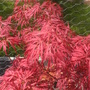 Acer palmatum dissectum &#x27;Garnet&#x27; (Acer palmatum)