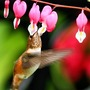Hummingbird at Bleeding Heart (Dicentra spectabilis (Bleeding heart))