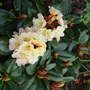 Rhododendron 1 (Rhododendron hybrid 'Horizon Monarch')