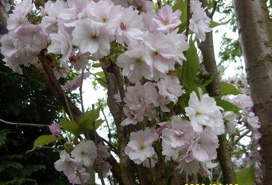 Cherry Blossom Time.   [Amanogaw]
