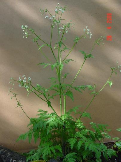 Cow Parsley plant (Anthriscus sylvestris)