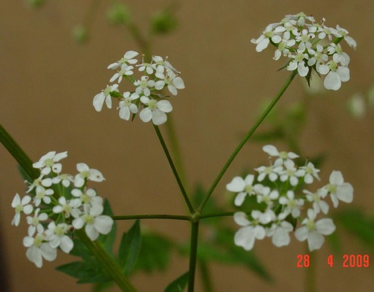 Cow Parsley flower detail (Anthriscus sylvestris (Cow Parsley))