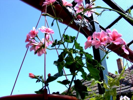 Hanging pot above my terrace (Pelargonium peltatum (Hanging Geranium))