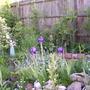 Purple iris (Iris pallida dalmatica)