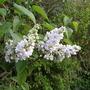White Lilac (Syringa vulgaris (Common lilac))