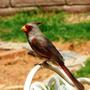 Desert Cardinal 2