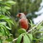 Desert Cardinal - Pyrrholoxia