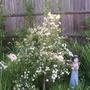A very pretty little shrub. Don't know what I'm afraid.