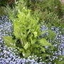 Spinach and forget-me-nots, I don't think I planned this!