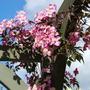 Clematis on Pergola. Montana Rub Tetrarose (Clematis montana (Clematis)rubens Tetrarose)