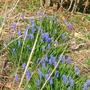 Grape hyacinths, April 28