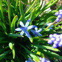 In amongst the grape hyacinths (Chionodoxa luciliae (Glory of the snow))