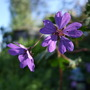 Geranium_pyrenaicum_bill_wallis_