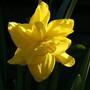 Golden Ducat (Narcissus)