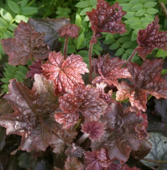 Heuchera Palace Purple (Heuchera cylindrica)