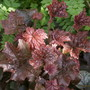 Heuchera Palace Purple (Heuchera cylindrica)