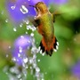 Hummingbird Dancing in Fountain Spray