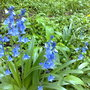 definitely not English bluebells~escaped from a garden I think!