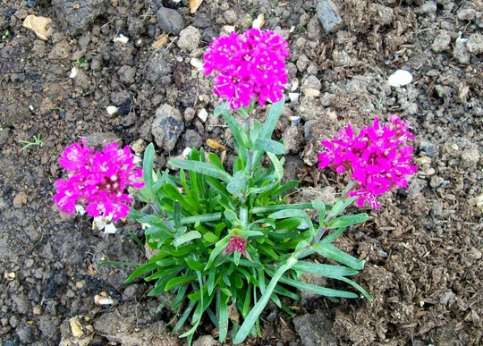 Lychinis alpina (Lychnis alpina (Alpine Campion))