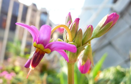 A garden flower photo (Dodecatheon meadia)