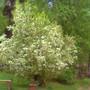 Prunus virginiana melanocarpa (Prunus virginiana)