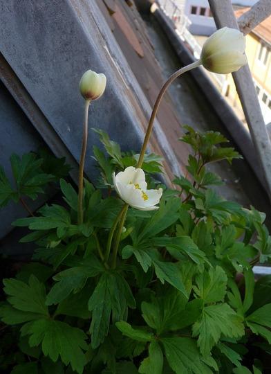 A garden flower photo (Anemone sylvatica)