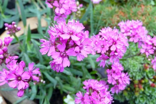 A garden flower photo (Lychnis alpina (Alpine Campion))