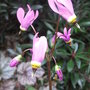 Dodecatheon_meadia_2009